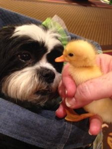 Kona and the Blog Paws duckling