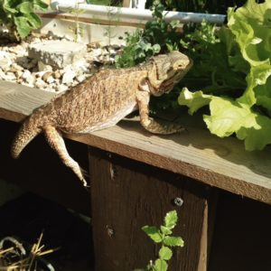 Bearded dragons love choosing their own salad for supper