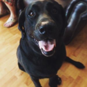 Chance the Black Labrador retriever