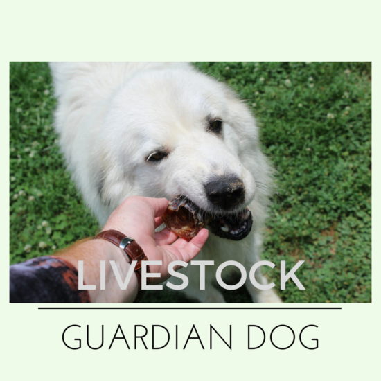 Livestock Guardian Dog - Great Pyrenees
