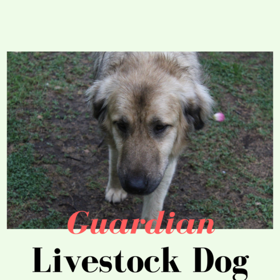 Livestock Guardian Dog - Anatolian Shepherd
